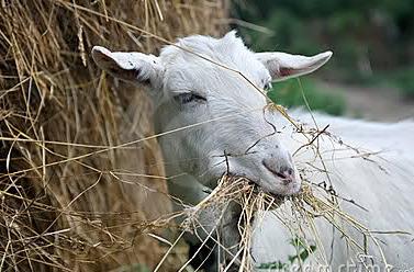 Коза потеряла жвачку лечение народными средствами
